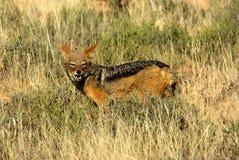 Retrato de um chacal com o dorso negro em um sul - reserva nacional africana do jogo foto de stock