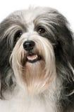 Retrato de um cão de Havanese Foto de Stock