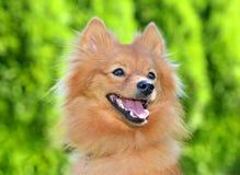 Retrato de um cão pomeranian Imagem de Stock