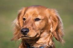 Retrato de um cockapoo Fotos de Stock Royalty Free