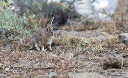 Retrato de um coelho cinzento selvagem Fotos de Stock