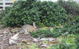 Retrato de um coelho cinzento selvagem Imagem de Stock