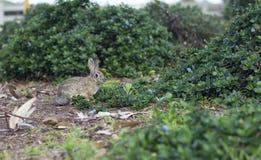 Retrato de um coelho cinzento selvagem Imagem de Stock Royalty Free