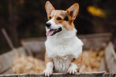 Retrato de um Corgi do cão Imagem de Stock