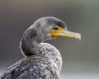 Retrato de um Cormorant Imagens de Stock Royalty Free