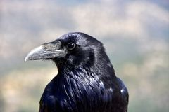 Retrato de um corvo em Bryce Canyon foto de stock royalty free