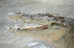 Retrato de um crocodilo com close-up aberto da boca Imagem de Stock Royalty Free