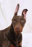 Retrato de um Doberman do chocolate Imagem de Stock Royalty Free
