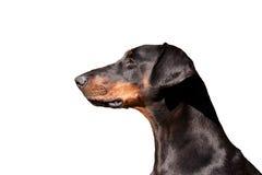 Retrato de um Dobermann régio Imagens de Stock Royalty Free