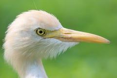Retrato de um Egret pequeno Imagem de Stock Royalty Free