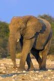 Retrato de um elefante imagem de stock royalty free