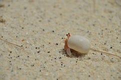 Retrato de um eremita marinho novo Foto de Stock