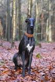 Retrato de um espanol preto do galgo Foto de Stock Royalty Free