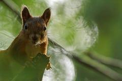 Retrato de um esquilo Fotos de Stock Royalty Free