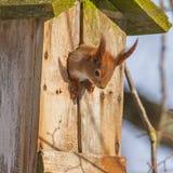 Retrato de um esquilo em uma caixa-ninha Fotos de Stock Royalty Free