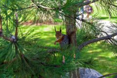 Retrato de um esquilo no ramo do pinho Fotografia de Stock