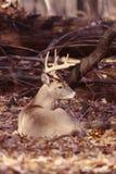 Retrato de um fanfarrão do whitetail Imagens de Stock