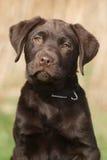 Retrato de um filhote de cachorro de Labrador Imagens de Stock