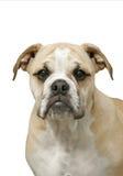 Retrato de um filhote de cachorro do buldogue Fotografia de Stock Royalty Free
