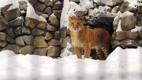 Retrato de um filhote do liger perto das cavernas video estoque