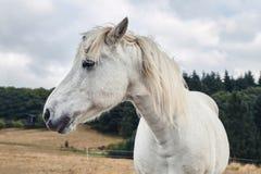 Retrato de um fim beautyful do cavalo branco acima foto de stock