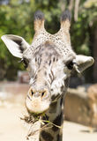 Retrato de um fim do girafa acima Imagens de Stock