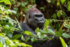 Retrato de um fim do gorila de planície ocidental (gorila do gorila do gorila) acima em uma distância curto Silverback - macho ad Fotografia de Stock
