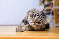 Retrato de um fim listrado cinzento bonito do gato acima imagens de stock royalty free
