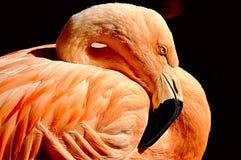 Retrato de um flamingo Imagens de Stock
