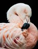 Retrato de um flamingo chileno Imagem de Stock