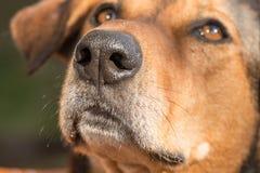 Retrato de um foco do cão de caça no nariz fotografia de stock