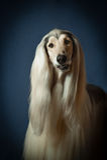 Retrato de um galgo afegão Foto de Stock