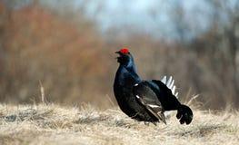 Retrato de um galo silvestre preto lekking lindo (tetrix do Tetrao) Fotos de Stock
