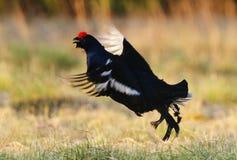 Retrato de um galo silvestre preto lekking lindo (tetrix do Tetrao) Fotografia de Stock Royalty Free