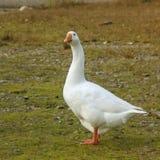 Retrato de um ganso foto de stock