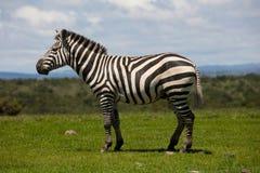 Retrato de um garanhão da zebra das planícies Fotografia de Stock