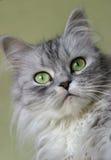 Retrato de um gatinho Foto de Stock Royalty Free