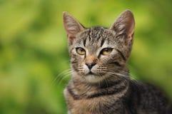 Retrato de um gatinho do gato malhado Foto de Stock Royalty Free