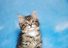 Retrato de um gatinho minúsculo do gato malhado que olha acima Fotos de Stock