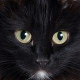 Retrato de um gatinho preto Imagem de Stock