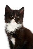 Retrato de um gatinho preto e branco Imagens de Stock Royalty Free