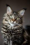 Retrato de um gato. Fotografia de Stock