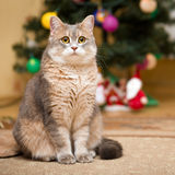 Retrato de um gato Imagens de Stock