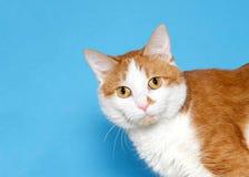 Retrato de um gato alaranjado e branco que olha lateralmente no visor imagens de stock royalty free