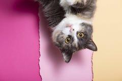 Retrato de um gato assustado engraçado com os grandes olhos marrons, um animal de estimação doméstico de cinza em um fundo do est imagem de stock