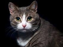 Retrato de um gato bonito Fotos de Stock Royalty Free