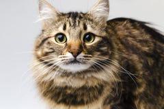 Retrato de um gato bonito Imagem de Stock Royalty Free
