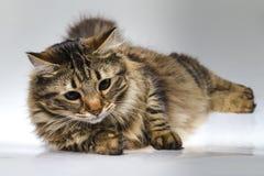 Retrato de um gato bonito Imagens de Stock