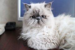 Retrato de um gato branco Fotografia de Stock Royalty Free