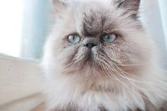 Retrato de um gato branco Fotos de Stock Royalty Free